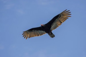 Turkey vulture (Cathartes aura), Coquimbo Region, Chile